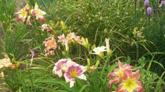 Flower bed eith daylilies, carex grass