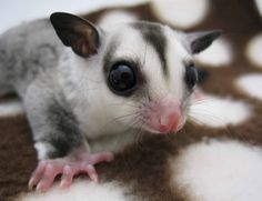 Pip, white face sugar glider joey at NH Sugar Gliders.
