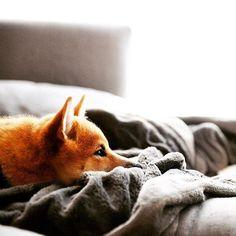Missing a sock?? Only I know it's hiding spot. #grumbles #shibainu #shibastagram #shibalove #cutepetclub #fluffypack #dogsofinstagram #mydogiscutest #animalsco #puppystagram