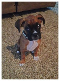 Boxer puppy up to no good