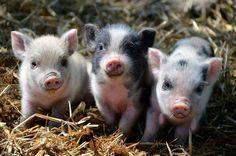 3 little piggies...so cute!