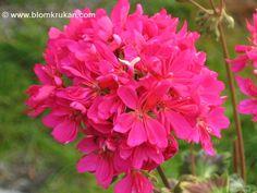Geranium Frank Bolton Star Pelargonium Uuden lajikkeen 2012 klo kukkaruukku