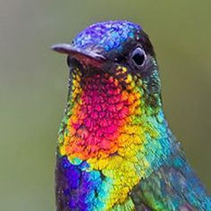 The Fiery Throated Hummingbird is 11 cm long and weighs 5.7 g. It has a straight black bill and dusky feet.