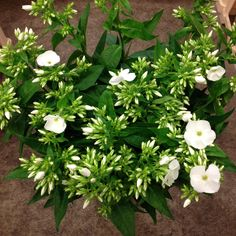 Phlox called 'White Cap' Sold in bunches of 10 stems from The Flowermonger, the wholesale floral home delivery service.