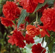 Begonia – Scarlett – Pendula | Dahlia Barn