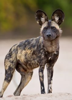 """Lycaon Pictus"" by Morkel Erasmus (African Wild Dog) Animals Beautiful, Cute Animals, Photo Animaliere, African Wild Dog, Carnivore, Pet Dogs, Pets, Wild Dogs, Mundo Animal"