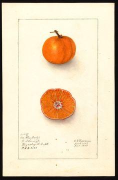 Artist:     Passmore, Deborah Griscom, 1840-1911  Scientific name:     Citrus unshiu  Common name:     satsumas  Physical description:     1 art original : col. ; 17 x 25 cm.  Specimen:     40227  Year:     1908  Notes on original:     Early Un-Shu; P.L.H. 2153  Date created:     1908-01-06