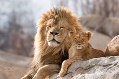 Family Portrait - An adult, captured, male african lion sits next to one of his cubs a top a rock in their enclosure on a warm late-winter's morning at the Denver Zoo - Denver, CO Lion Pictures, Animal Pictures, Animals Photos, Cute Baby Animals, Animals And Pets, Beautiful Creatures, Animals Beautiful, Lion Family, Gato Grande