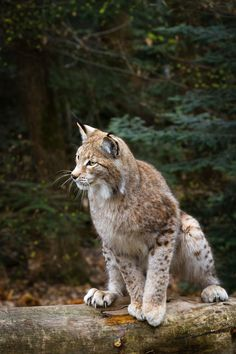 lynx on a fallen tree by Cloudtail