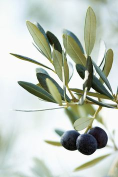 Olive branch and black olives Terre Nature, Vegetables Photography, Potted Trees, Mediterranean Garden, Tree Photography, White Photography, Garden Trees, Garden Pots, Fruit Trees