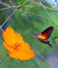Macroglossum Insipida Photo by Leka huie -- National Geographic Your Shot