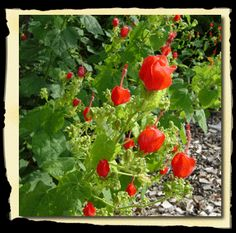 Turk's Cap - Full Sun to Partial Shade - Prefers a moist soil - PERFECT for our back garden.