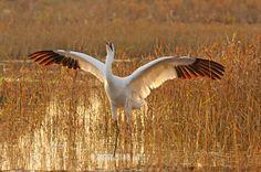 Whooping crane...Whoopey! fl_adult_flared_wings2.jpg (640×424)