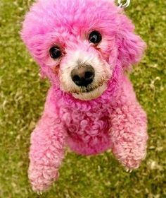 I guess the only upside is a poodle can pull off pink...