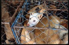 HELP STOP THE ILLEGAL DOG MEAT TRADE IN THAILAND!  URGE Thailand's Prime Minister to stop the illegal dog meat trade for good by stopping traders in the act of collecting dogs & transporting them over international borders.Every year tens of thousands of dogs are illegally transported from Thailand to neighboring countries where they are tortured & killed for their meat. PLZ Sign & Share!