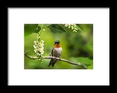 Male Ruby-throated Hummingbird With Showy Gorget Framed Print by Christina Rollo.  All framed prints are professionally…