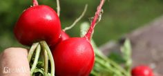 Radishes grow quickly, but you must spoil them a bit to get perfect roots