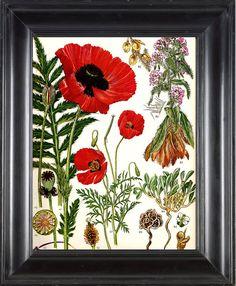 BOTANICAL PRINT Red Poppy 8x10 Botanical Art by FleurDeNature