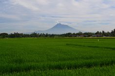 Beautiful paddy field with Mount Merapi in the background, Yogyakarta, Indonesia Mount Merapi, Mount Rainier, Java, Fields, Scenery, Around The Worlds, Photograph, Dreams, Spaces