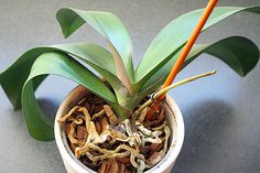 orchid stem growing