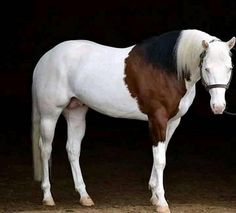 Most Beautiful Horses, All The Pretty Horses, Animals Beautiful, Rare Horses, Wild Horses, Horse Photos, Horse Pictures, Horse Girl, Horse Love