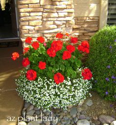geraniums and bacopa - Geraniums do well in the cooler temperatures of fall.
