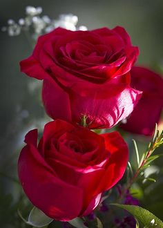 Red Red Roses - by Kathy Clark