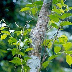 -BLEN: Aromaterapia- Aceite Esencial de Sándalo - Amyris Balsamifera