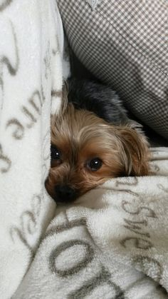 This Yorkie wants to snuggle