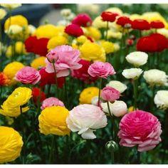 Bloomsz Ranunculus Mix Flower Bulbs (12-Pack)-08456 - The Home Depot