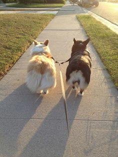 "These two remind me of my ""grand-corgis"" Arthur and Gwen"