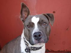 URGENT - Brooklyn Center   CLASSY - A0990057   FEMALE, BROWN / WHITE, PIT BULL MIX, 4 yrs  STRAY - STRAY WAIT, NO HOLD Reason STRAY  Intake condition NONE Intake Date 01/21/2014, From NY 11207, DueOut Date 01/24/2014 https://www.facebook.com/photo.php?fbid=746876515325230&set=a.746757482003800.1073742897.152876678058553&type=3&theater