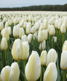 Tulip Francoise - Single Late Tulips - Tulips - Flower Bulb Index Bulb Flowers, Tulips Flowers, Daffodils, Yellow Flowers, Spring Flowers, Pansies, Tulips Garden, Garden Bulbs, Garden Plants