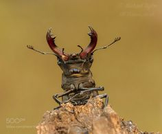 Stag Beetle by MichaelTaylor #nature #photooftheday #amazing #picoftheday
