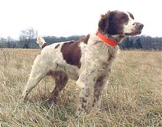 Best Kind Of Hunting Dog In The World - The Brittany Spaniel Black Lab Puppies, Dogs And Puppies, Doggies, American Brittany, French Brittany, Brittney Spaniel, Cute Little Animals, Hunting Dogs, Working Dogs