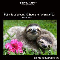 sloths take around 42 hrs on average to have sex- the Sting of the animal world.  Must be all that yoga.