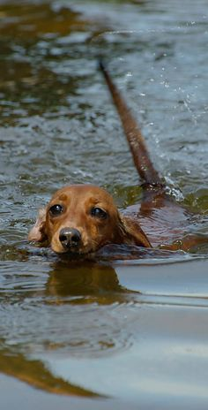 Swim, swim :) Not all doxies like water ...........click here to find out more http://googydog.com
