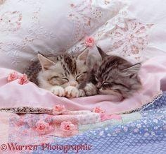 Silver tabby kittens asleep