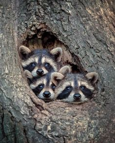 Tagged with cute, aww, trash panda; Trash Pandas Are Cute Nature Animals, Animals And Pets, Wild Animals, Wildlife Nature, Nature Nature, Farm Animals, Science Nature, Cute Baby Animals, Funny Animals