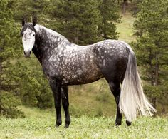 Dapple gray Andalusian. So beautiful.
