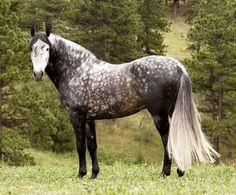 Dapple grey Andalusian.