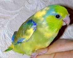 Image result for pastel parrotlet