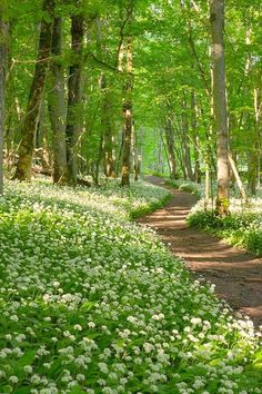 Path through wild garlic flowers [unable to determine location or photographer]
