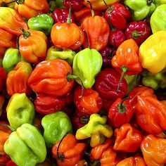 Mainly in the Caribbean islands, the Scotch Bonnet is brightly colored Jamaican hot chile that is typically red or yellow when fully ripe. Paprika Pepper, Hot Pepper Sauce, Hot Sauce, List Of Peppers, Types Of Peppers, Red Peppers, Stuffed Sweet Peppers, Stuffed Jalapeno Peppers, Recipes