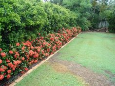 orange ixora hedge or edging plant >> Love the green fence too, so lush and pretty! Sounds like a backyard project - soon to be!!!!