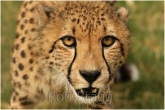 Close up of a cheetah - Stock Photo