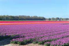tulpen - Bing Afbeeldingen