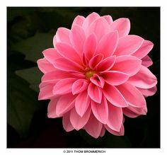 ✯ Pink Dahlia by *THOM-B-FOTO*✯