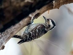 Grey-capped Pygmy Woodpecker (Dendrocopos canicapillus) photographed by David Cook at Tmatboey, Kulen Promtep Wildlife Sanctuary, Preah Vihear Province, Cambodia. on 17th February 2015
