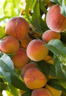 Scarlet Prince Peach  Tons of Peaches on Just One Tree    Height After   Pruning:	5-6 ft.  Oversized Fee: $7.00 each  1 left in stock - order now  $120.95  6 at $114.90 ea.  24 at $108.86 ea.